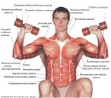 Мышцы верхней части тела: вид спереди.