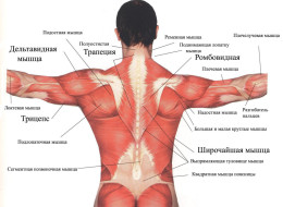 Мышцы верхней части тела: вид сзади.